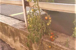 Pomodori_2