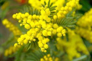 mimosa-generica-pixabay