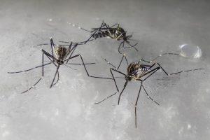 zanzara-coreana-Aedes-koreicus-1
